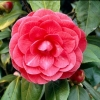 Picture of Camellia C M Hovey