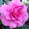 Picture of Camellia Chansonette