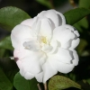Picture of Camellia Cinnamon Cindy Espalier