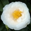 Picture of Camellia Coronation