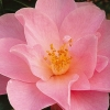 Picture of Camellia Daintiness