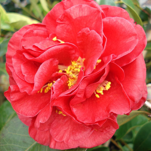 Picture of Camellia Dixie Knight