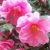 Picture of Camellia Donation