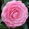 Picture of Camellia E G Waterhouse