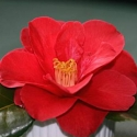 Picture of Camellia Flame
