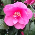 Picture of Camellia Gay Baby