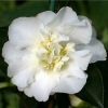 Picture of Camellia Gay Sue