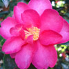 Picture of Camellia Hiryu