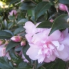 Picture of Camellia Itty Bit