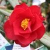 Picture of Camellia Jamie