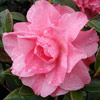 Picture of Camellia Jubilation