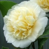 Picture of Camellia Jurys Yellow Std