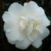 Picture of Camellia Kate Sheppard