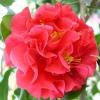 Picture of Camellia Kramers Supreme