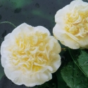 Picture of Camellia Lemon Drop Std