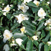Picture of Camellia Little Gem
