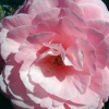 Picture of Camellia Lovely Lady