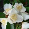 Picture of Camellia Lutchuensis