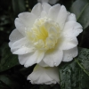 Picture of Camellia Mansize