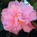 Picture of Camellia Marge Miller