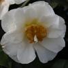 Picture of Camellia Moonlight Magic