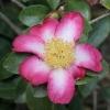Picture of Camellia Navajo