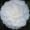 Picture of Camellia Nuccios Gem