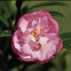 Picture of Camellia Paradise Baby Jane