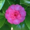 Picture of Camellia Paradise Hilda