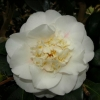 Picture of Camellia Shiro Chan