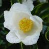 Picture of Camellia Silver Column