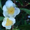 Picture of Camellia Sinensis