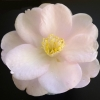 Picture of Camellia Sugar and Spice STD