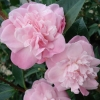 Picture of Camellia Sweet Jane