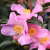Picture of Camellia Transpink