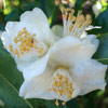 Picture of Camellia Tsaii