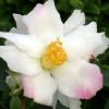 Picture of Camellia Yoi Machi Std