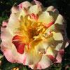 Picture of Camille Pisarro-Rose