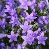 Picture of Campanula Resholdts Variety