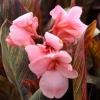 Picture of Canna Pink Sunburst