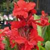 Picture of Canna Red Dawn
