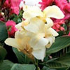 Picture of Canna Tropical White