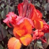 Picture of Canna Tropicanna Black