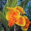 Picture of Canna Tropicanna Gold