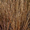 Picture of Carex Buchananii