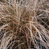 Picture of Carex Comans Red