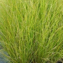Picture of Carex Dipsacea 10 Pack