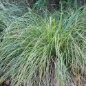 Picture of Carex Dissita