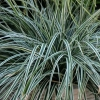 Picture of Carex Everest