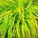 Picture of Carex Everillo